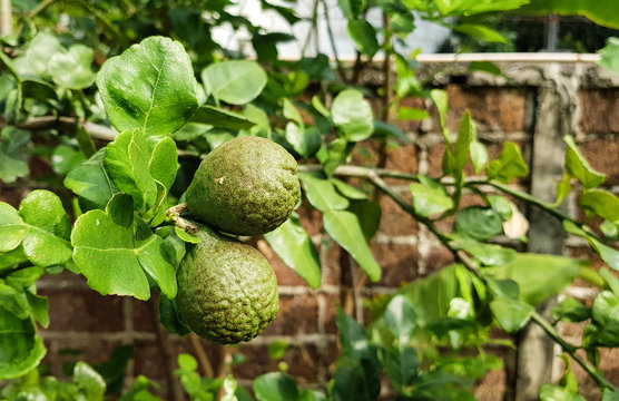 Bergamot tree and fruit in the Garden.