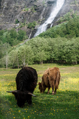 Scottish highland cattle on a meadow in front of a waterfall in Norway