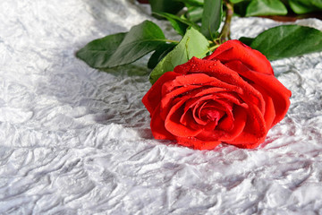 Red rose on white fabric. On the petals of rose water drops.Rose scarlet on white velvet.
