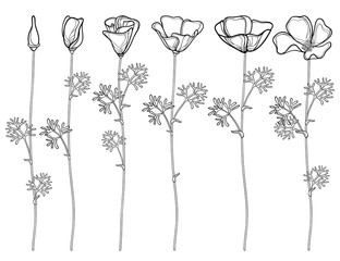 Vector set with outline California poppy flower or California sunlight or Eschscholzia, leaf, bud and flower in black isolated on white background. Contour poppies for summer design or coloring book.