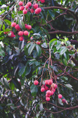 fresh red lychee on tree.