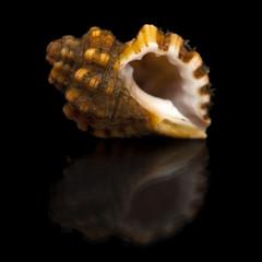 sea snail on black