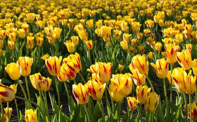 Tulip field of yellow tulips beautiful nature landscape photography background