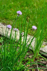 Chives (Allium schoenoprasum) and spring green onions (Scallions) in a urban garden.