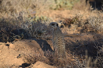 A cute meerkat is sitting in the desert of Oudtshoorn behind a big green tree, South Africa