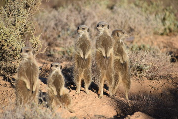 A cute meerkat family in the desert of Oudtshoorn behind a big green tree, South Africa