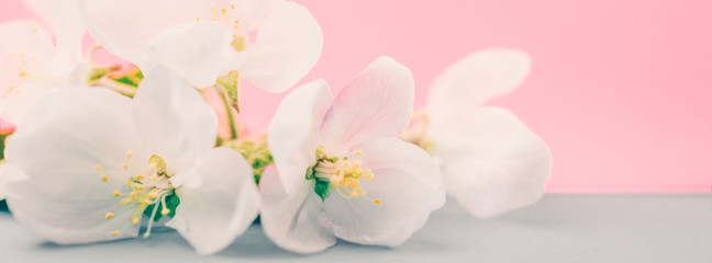 Apple blossoms over blurred color background