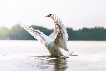 Keuken foto achterwand Zwaan Stolzer Schwan zeigt seine Brust und macht breitet seine Flügel aus