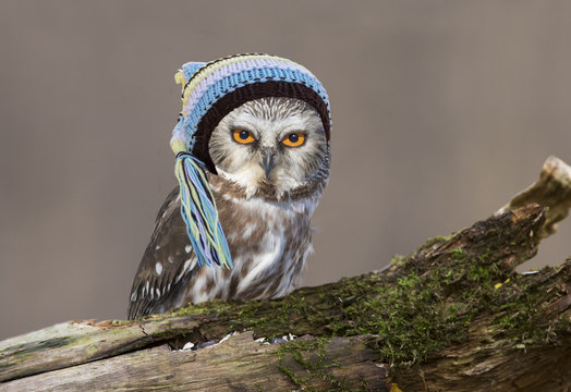 Cute northern saw-whet owl with baby hat