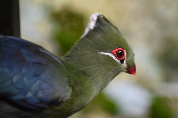 Portrait of a colorful Knysna Turaco (Loerie) in South Africa