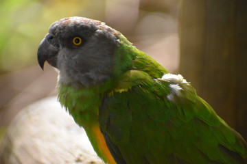 Portrait of a Brown Headed Parrot in South Africa