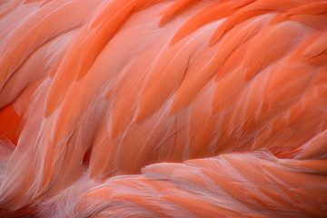 Garden Poster Flamingo Closeup of the pink feathers of a carribean Greater Flamingo in South Africa
