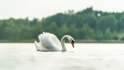 Schöner weißer Schwan auf einem See