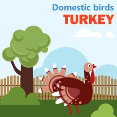 Domestic bird turkey