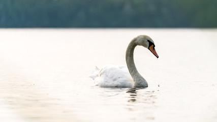 Schwan auf einem See