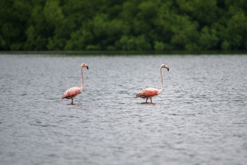Bright Orange and White Plumage on a Pink Flamingo Standing Next to the Water's Edge (Phoenicopterus chilensis)