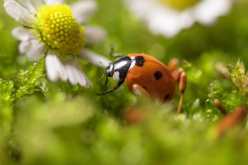 Ladybird on chamomile flowers close-up.