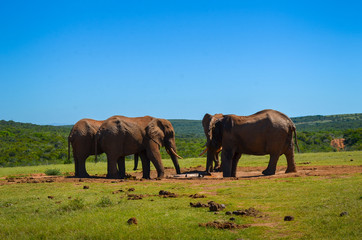 elephants drinking water in Addo park, South Africa