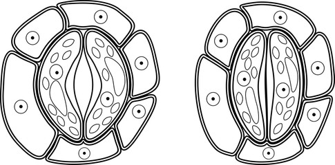 Coloring page. Structure of stomatal complex with open and closed stoma
