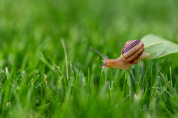 Beautiful lovely snail in grass with morning dew.