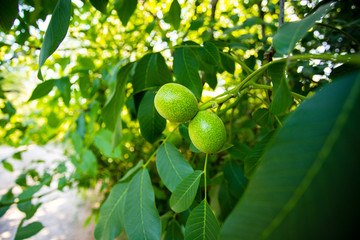 ripening walnuts on branch on wood background