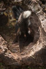 Striped Skunk Kit (Mephitis mephitis) Walks Into Log