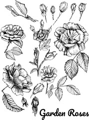 Set of Roses by hand painting