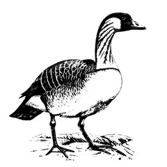 wild goose vector black and white illustration. Hawaii goose vector drawing