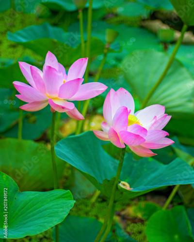 Large lotus flowers bright pink buds of lotus flower floating in large lotus flowers bright pink buds of lotus flower floating in the lake mightylinksfo