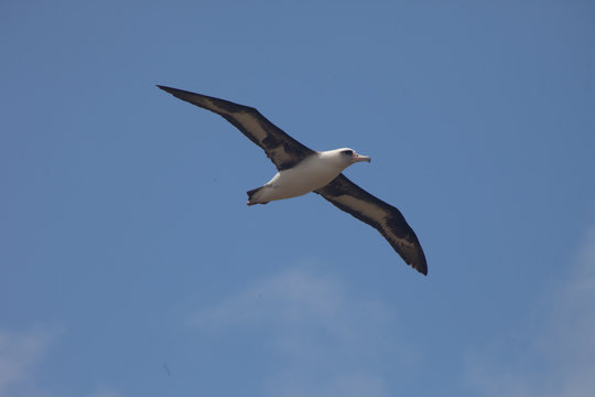 Laysan Albatross in Flight
