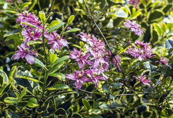 Pink Clematis Montana trailing across variegated Holly