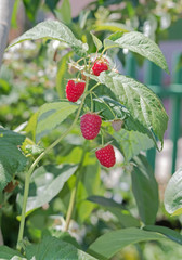 Branch of ripe raspberries in a garden