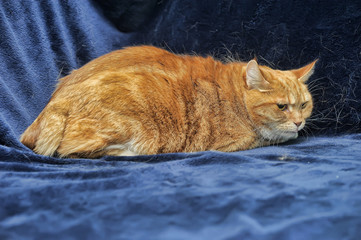 frightened red cat