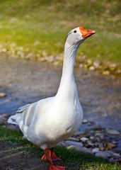 White domestic goose near the stream