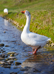 White domestic goose walking in shallow water