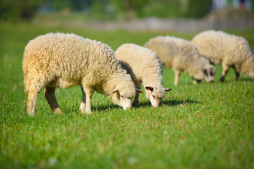 Sheeps in a meadow on green grass