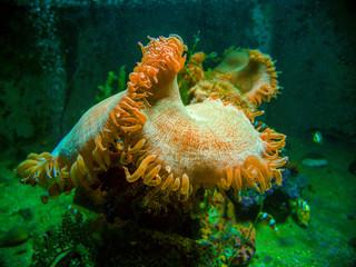 Clownfish in a colorful sea anemone in Andaman sea