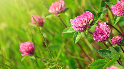 Pink clover flowers in the sunny summer day.