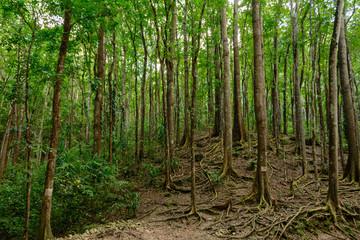 Bilar Man-Made Forest. Bohol, Philippines