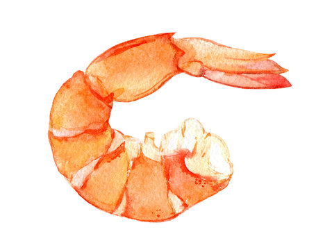 Watercolor shrimp isolated on white background