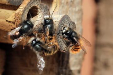 Wildbienen am Nest