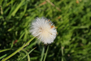 красивый белый одуванчик на фоне зеленой травы
