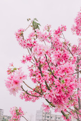 Sakura in Taiwan is blooming in February to March.