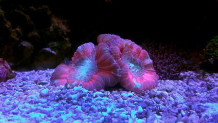 Open brain coral in reef aquarium tank