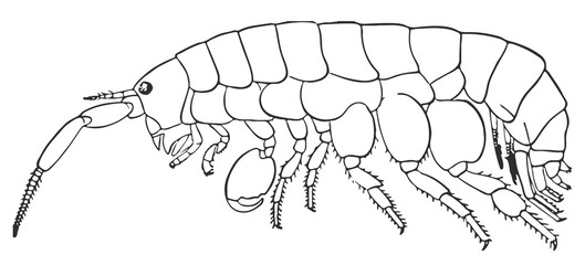 sand flea - Platorchestia platensis #vector #isolated - Sandfloh