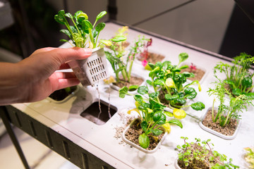 A woman grows plants. Home hydroponics