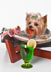 The dog lies on the couch with a straw in his mouth and drinks a cocktail of lemon