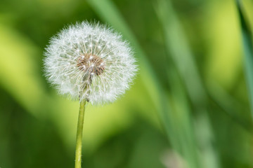 Fluffy dandelion in a park