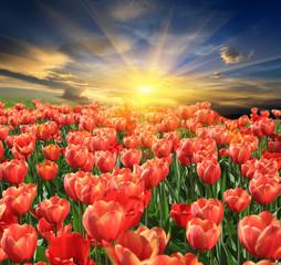 tupils flower meadow