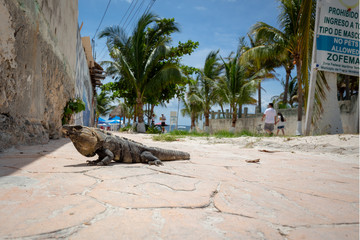 Iguana in the street of Akumal town in Mexico